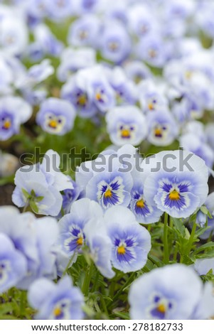 Viola flower beds - stock photo