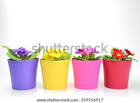 Viola flowers in a color plastic pots isolated on white background - stock photo
