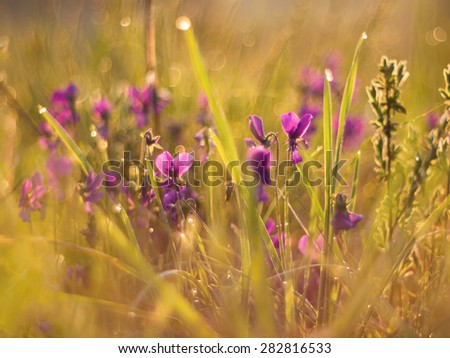 Viola flowers with sunshine - abstract - stock photo