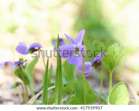 Viola odorata (Sweet Violet, English Violet, Common Violet, ) blooming in spring close-up. Nature background. - stock photo