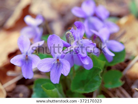Viola odorata (Sweet Violet, English Violet, Common Violet, or Garden Violet) blooming in spring close-up. Nature background. - stock photo