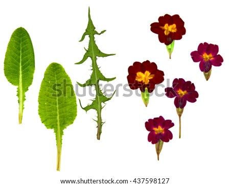 Viola perspective, dandelion dry leaf, delicate flowers and petals pressed herbaceous plant. - stock photo