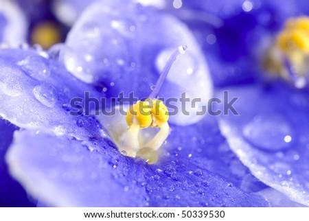 Viola sororia flower detail with raindrops - stock photo