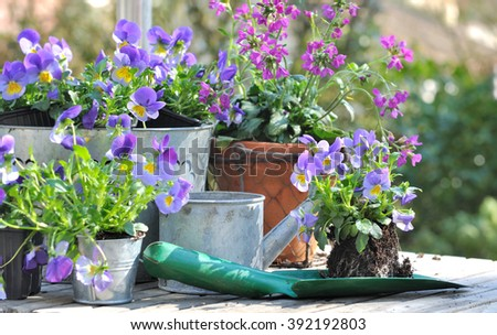 violas on planter in front of flower pots on a garden table  - stock photo