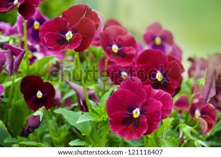 Violas or Pansies Closeup in a Garden - stock photo