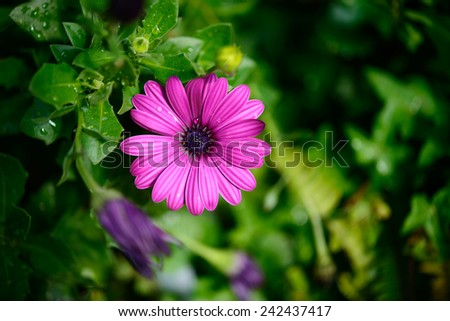 violet african daisy in the garden - stock photo