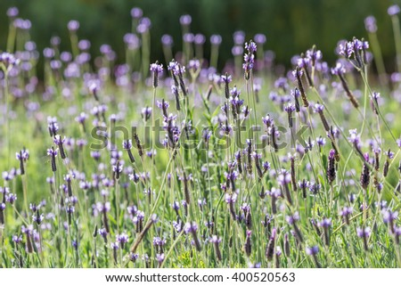 Violet and purple lavenders in lavender field with selective focus. - stock photo