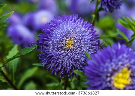 Violet asters in the garden - stock photo