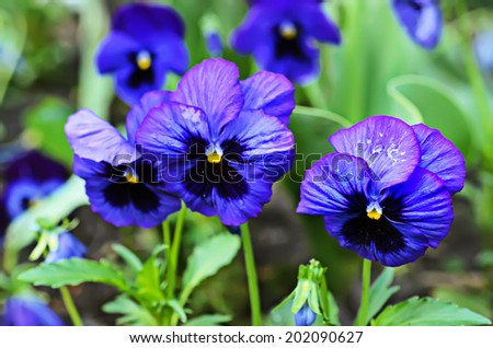 Violet beautiful pansy flowering in spring time - stock photo