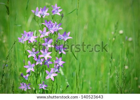 Violet bell-flower in green springtime meadow - stock photo