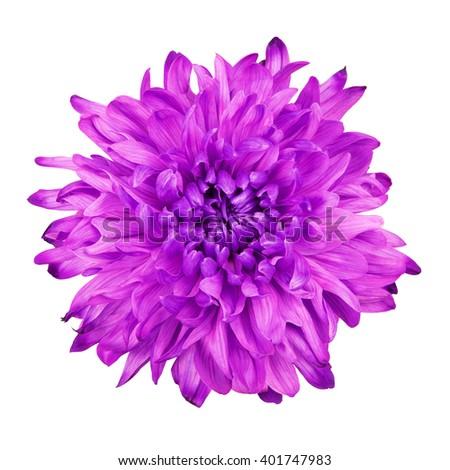 Violet Chrysanthemum Flower - stock photo