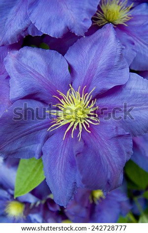 Violet clematis close-up - stock photo