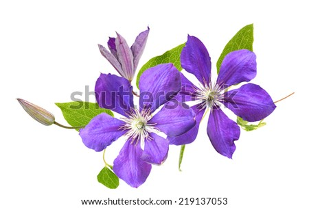 Violet clematis flower on a white background  - stock photo