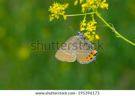 Violet Copper (Lycaena helle) butterfly on a wild flower in Ukrainian steppe - stock photo