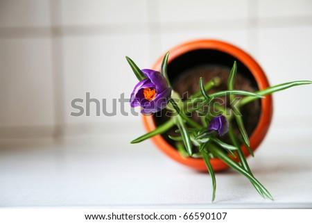 Violet crocus in a pot - stock photo