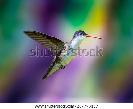 Violet Crowned Hummingbird. Using different backgrounds the bird becomes more interesting and blends with the colors. These birds are native to Mexico and brighten up most gardens where flowers bloom. - stock photo