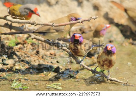 Violet Eared Waxbill - African Wild Bird Background - Beautiful Brothers - stock photo