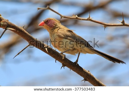 Violet-eared Waxbill - African Wild Bird Background - Colors in Nature - stock photo