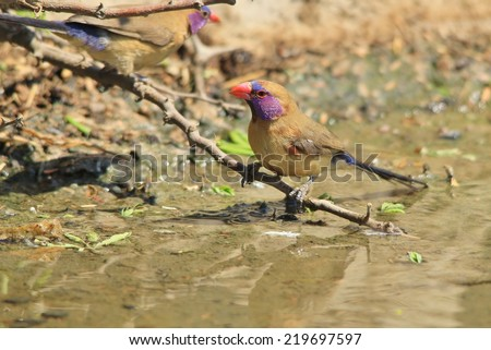 Violet Eared Waxbill - African Wild Bird Background - Life in Purple - stock photo