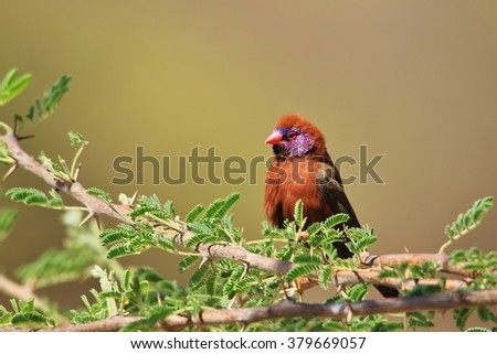 Violet eared Waxbill - Colorful Wild Bird Backgrounds from Africa - Beautiful Nature and Colors Vibrant - stock photo