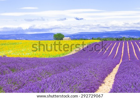 violet fields of blooming lavender and sunflowers in Provence, France - stock photo