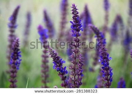 Violet flowers against the rising sun - stock photo