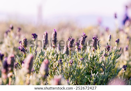 Violet flowers field background on sunset. - stock photo