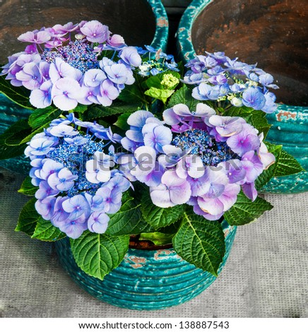 Violet flowers of Hydrangea Hortensia Ajisai in the garden - stock photo