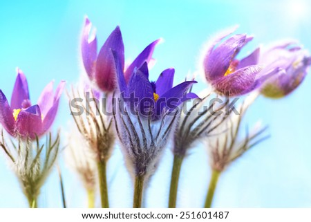Violet flowers (Pulsatilla patens) on the blue background with shining sun - stock photo
