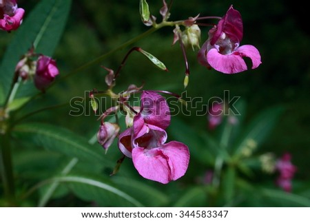 Violet impatiens flowers on the bank of Setun' river, Moscow - stock photo