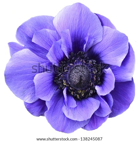 Violet isolated flower - stock photo