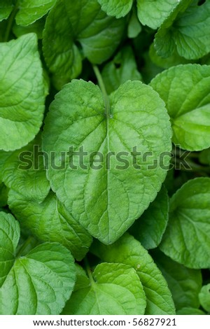 violet leaves - stock photo
