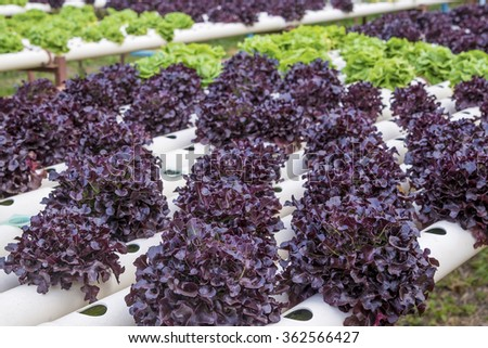 violet lettuce field of fresh and tasty salad/lettuce plantation - stock photo