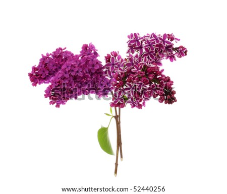 Violet Lilac branch - stock photo