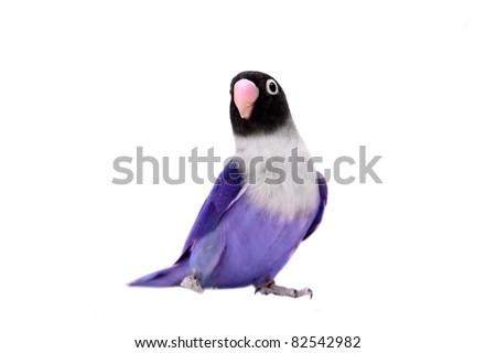 Violet masked lovebird on the white background - stock photo