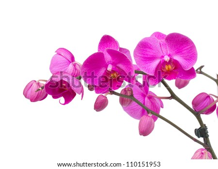 violet orchid branch isolated on white background - stock photo