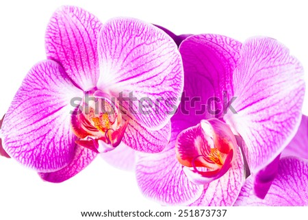 violet orchid flowers isolated on white background - stock photo