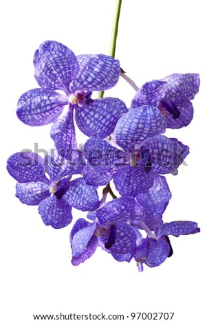 Violet Orchids(This Image contains clipping patch) - stock photo