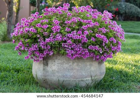 Violet Petunia: Beautiful Flowering Plant inside White Flowerpot - stock photo