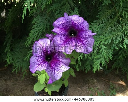violet petunia flowers blooming in summer - stock photo