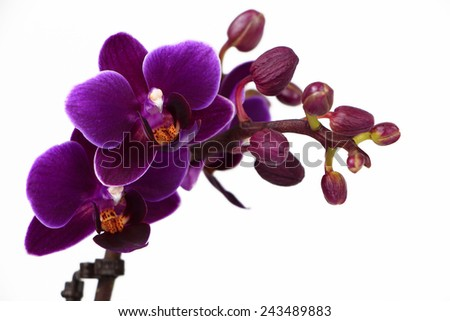 Violet Phalaenopsis orchid branch isolated on white - stock photo