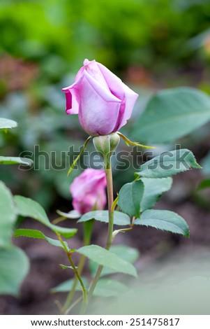 violet rose in the garden - stock photo