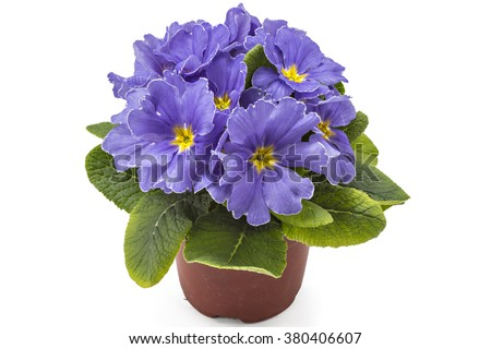 Violet spring primroses flowers, primula polyanthus in a flowerpot isolated on white background - stock photo
