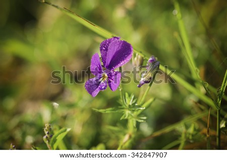 Violet wild beautiful wet pansy flowering at summer time, natural background - stock photo