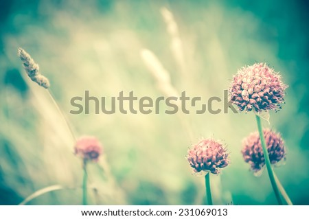 Violet wild flowers and golden spikes in the evening light at the meadow. Selective soft focus on the closest flower. Retro aged photo. - stock photo