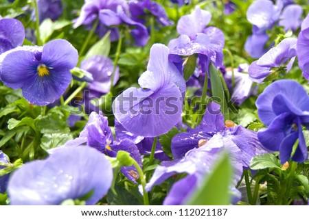 Violets - stock photo