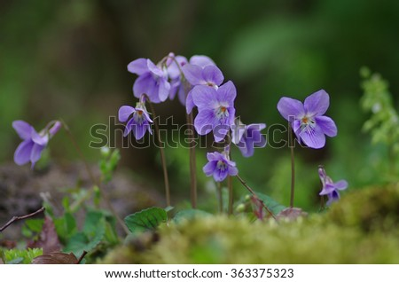 Violets blooming in the spring shade of a tree - stock photo