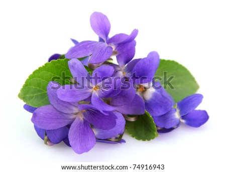 violets flowers close up - stock photo