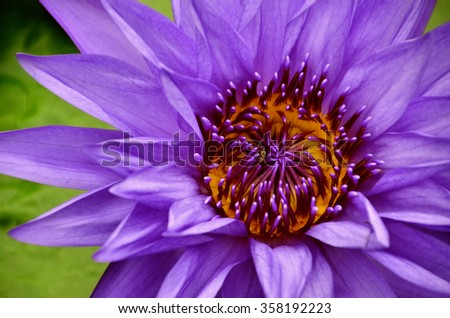 Violey Lotus water lily - stock photo