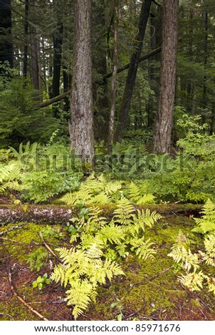 Virgin Primeval forest with yellow fern and mossed ground - stock photo
